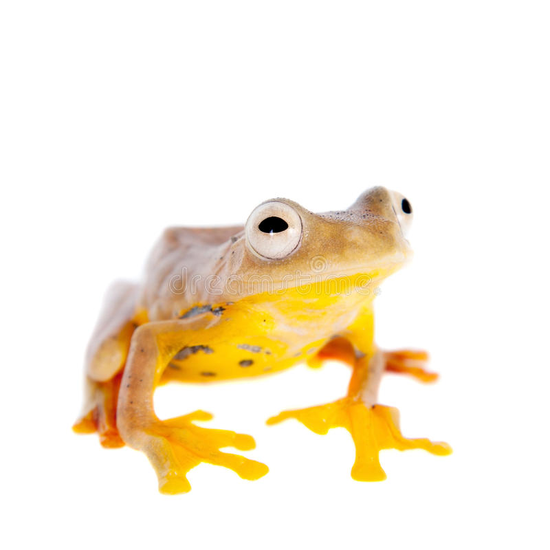 Two-dotted flying tree frog, Rhacophorus rhodopus, on white. Background royalty free stock image