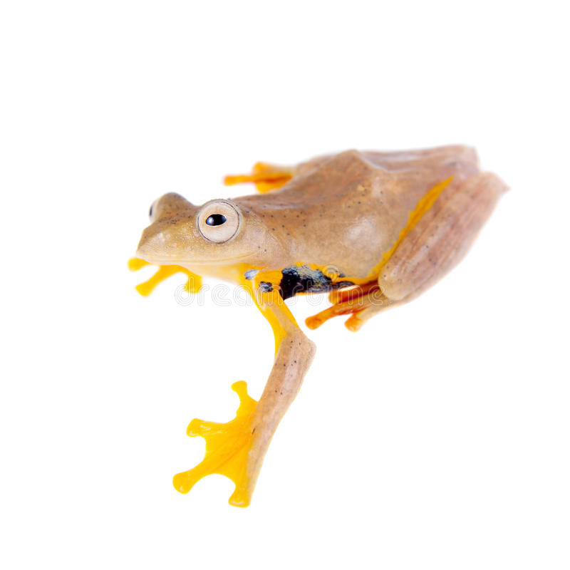 Two-dotted flying tree frog, Rhacophorus rhodopus, on white. Background stock image