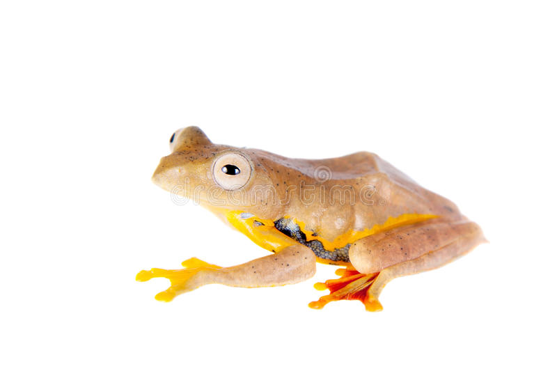 Two-dotted flying tree frog, Rhacophorus rhodopus, on white. Background royalty free stock photo