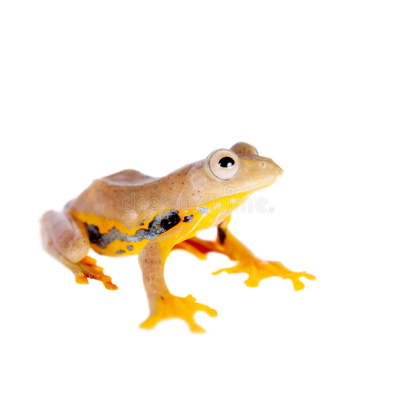 Two-dotted flying tree frog, Rhacophorus rhodopus, on white. Background stock images