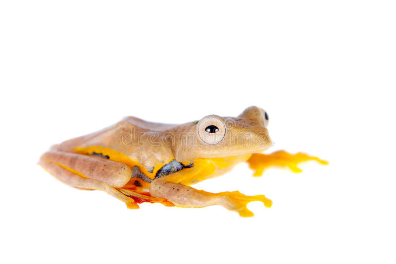 Two-dotted flying tree frog, Rhacophorus rhodopus, on white. Background royalty free stock photos