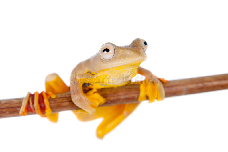 Two-dotted flying tree frog, Rhacophorus rhodopus, on white. Background stock photo