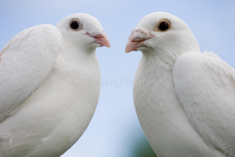 Two doves stock photo