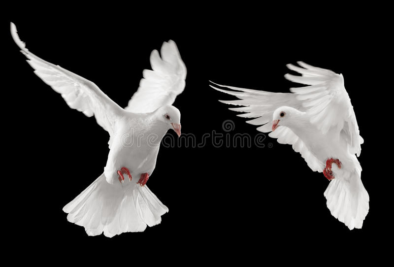 Two doves. Looking at something, isolated on black background