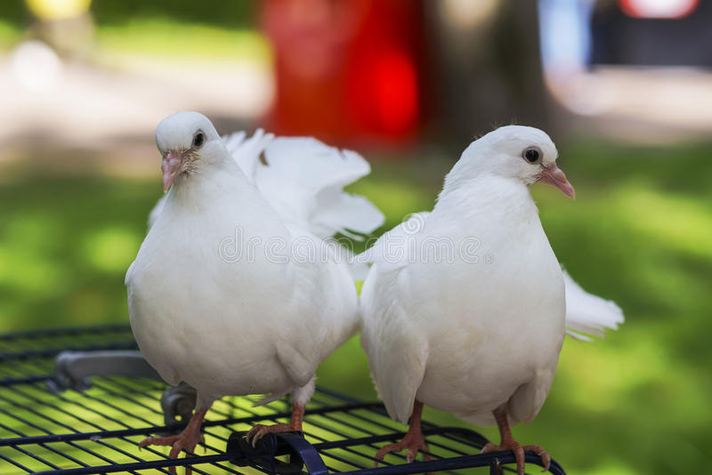 Two doves of peace and love stock photo