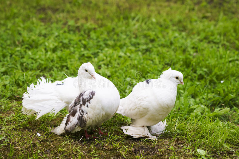 Two doves of peace and love royalty free stock photos