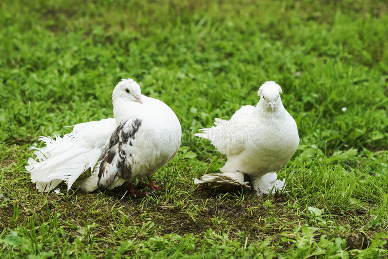 Two doves of peace and love royalty free stock photo
