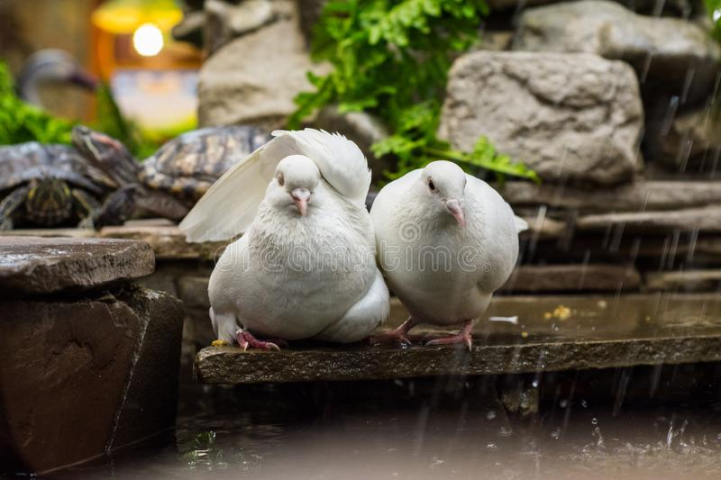 Two doves are sitting by the pond-fountain with a pond slider turtle in the zoo. stock photos