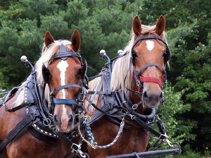 Download Two draft horses rigged up stock image. Image of bridled - 1107415