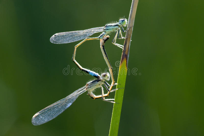 Download Two dragonflies stock photo. Image of green, yellow, stalking - 11546718