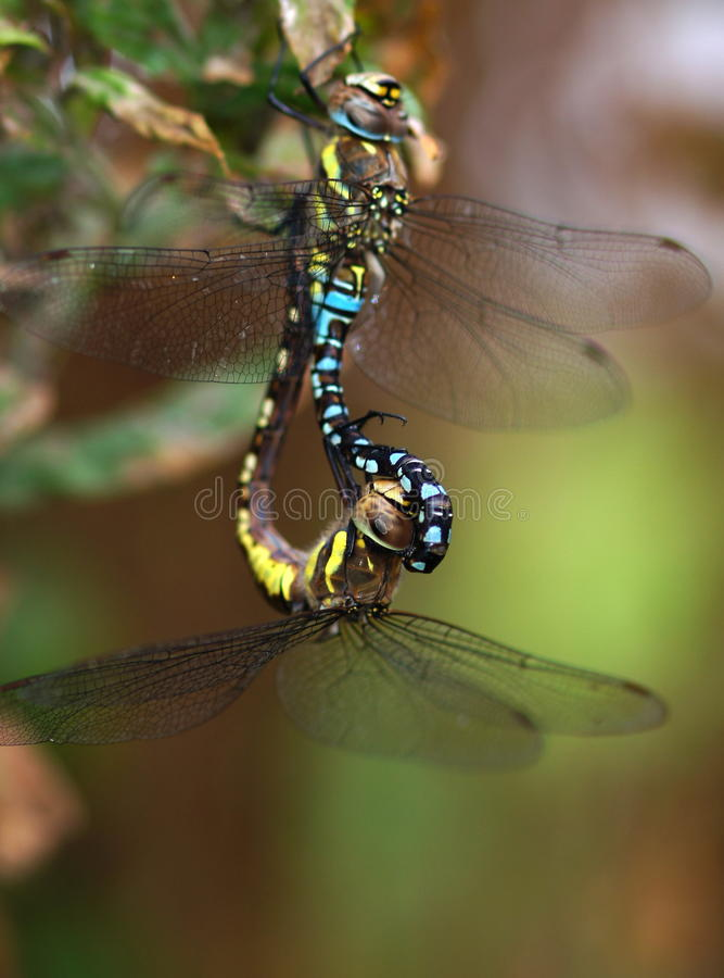 Download Two dragonflies stock image. Image of winged, nature - 26811517