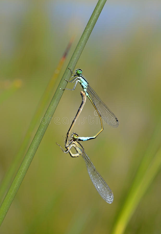 Download Two Dragonflies Royalty Free Stock Photos - Image: 28404478
