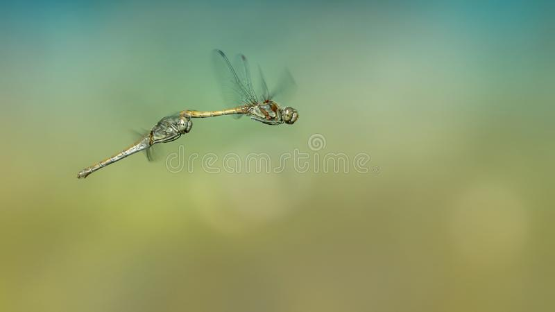 Two dragonflies are flying and doing the mating dance in a pool in the forest of Noord Brabant in the Netherlands. royalty free stock images
