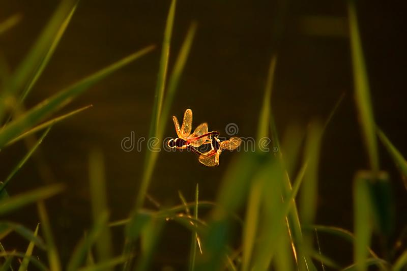 Two dragonflies mating on the air in golden back light. stock images