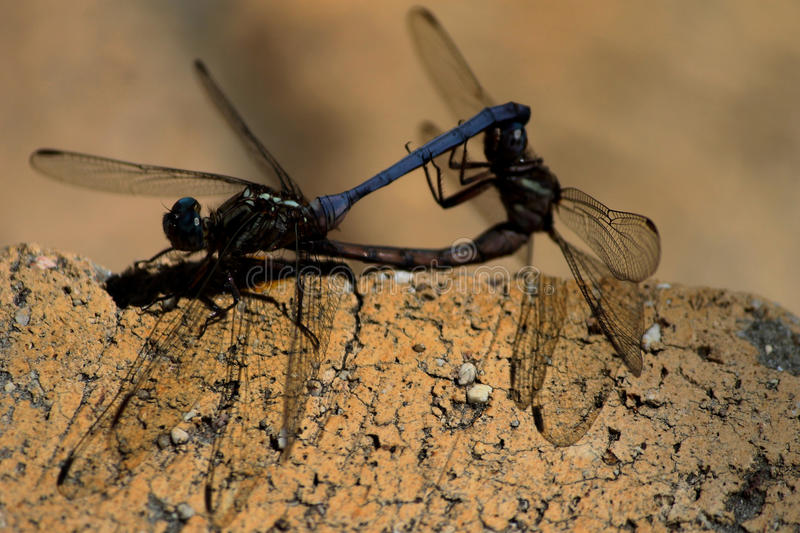 Two dragonflies mating on a brick wall stock images