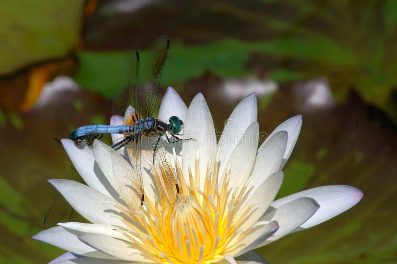 Two Dragonflies resting on a white water lily royalty free stock photography