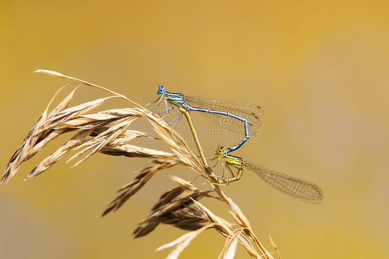 Two dragonflies sit together in the shape of a heart on a summer meadow. Two dragonflies sit together in the shape of a heart on a bright summer meadow stock photo