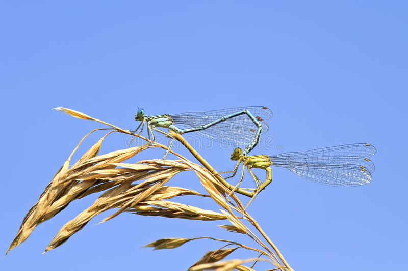 Two dragonflies sit together in the shape of a heart on a summer meadow. Two dragonflies sit together in the shape of a heart on a bright summer meadow royalty free stock images