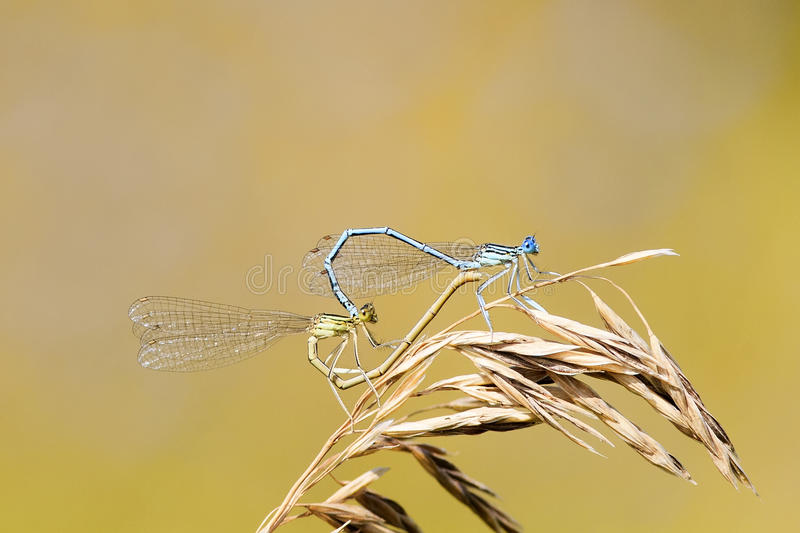 Two dragonflies sit together in the shape of a heart on a summer meadow. Two dragonflies sit together in the shape of a heart on a bright summer meadow stock photography