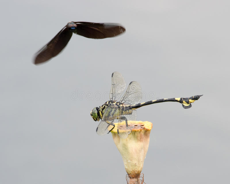 Download Two dragonflies stock image. Image of resting, attack - 32504759