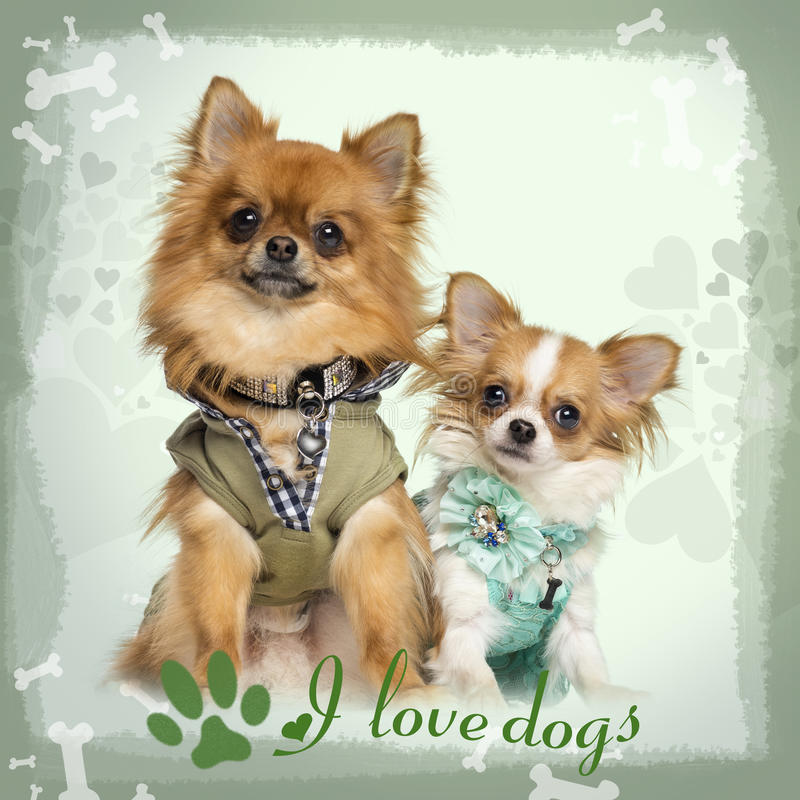 Two dressed up Chihuahuas sitting, on designed background stock image