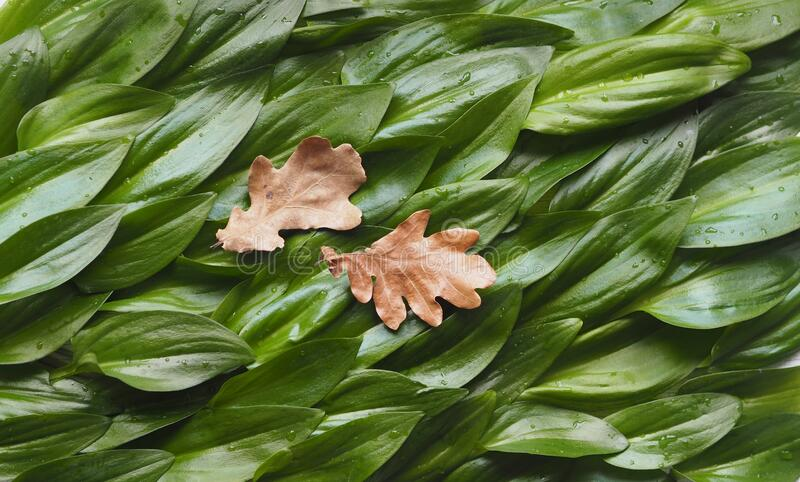 Two dried autumn leaves against a background of succulent green leaves. The idea of a green sea and sea waves royalty free stock photo