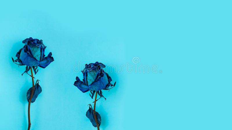 Two Dried blue rose royalty free stock image