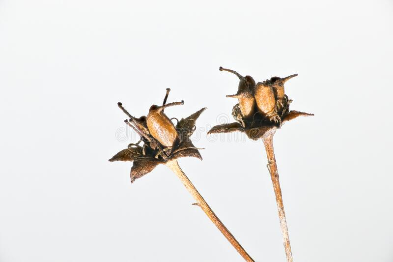 Two dried flowers, macro photo. Close up.  stock image