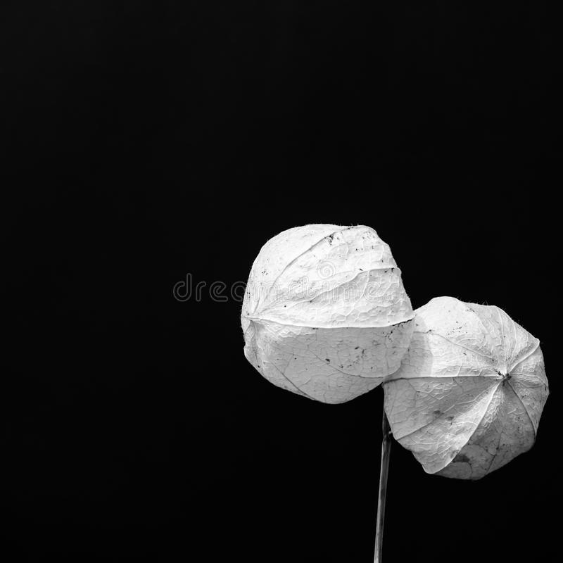 Two dry balls. An interesting still life photography with two dry balls. This monochrome still life photography is suitable for unusual commercials. Solid royalty free stock photos