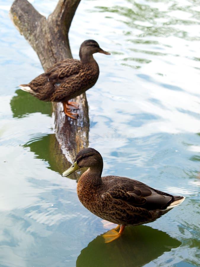 Free Two Ducks Stock Photo - 10431690