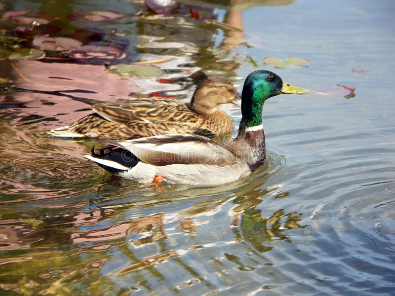 Download Two ducks stock photo. Image of nature, padling, swimming - 140032