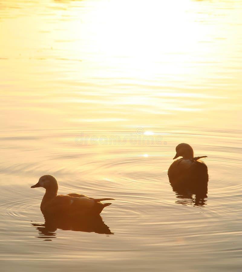 Free Two Ducks Royalty Free Stock Image - 3906286