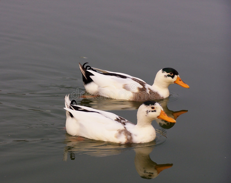 Download Two ducks stock image. Image of birds, swim, tranquil, pair - 63017