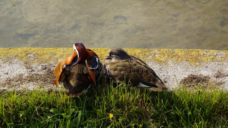 two ducks couple pair sitting in front of the lake royalty free stock photography