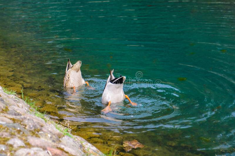 Two ducks dive into the water in search of food royalty free stock image