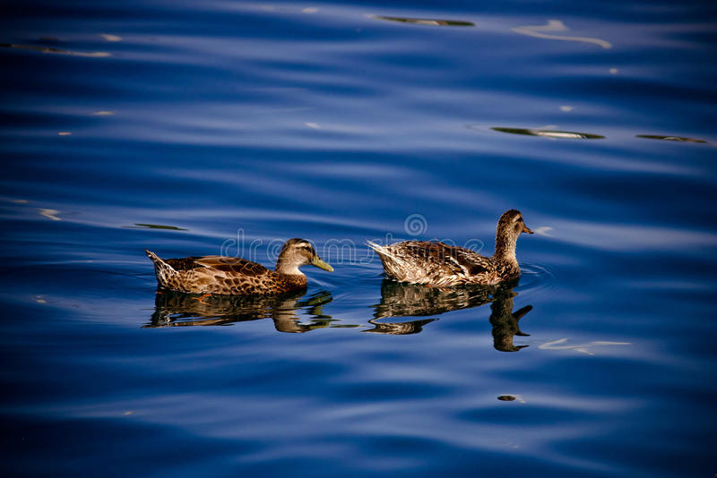 Two ducks floating on blue water surface royalty free stock photo