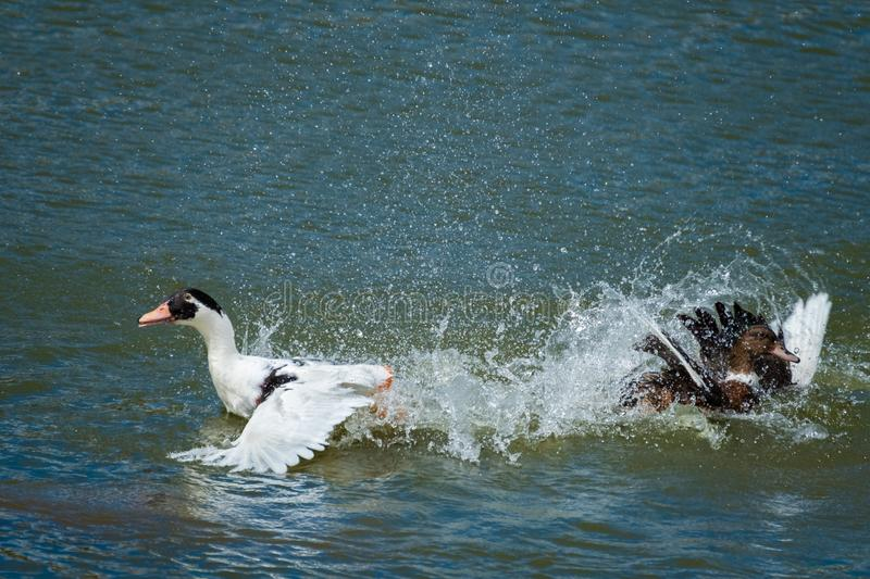 Two ducks going crazy. Two ducks splashing furiously on a hot day stock images