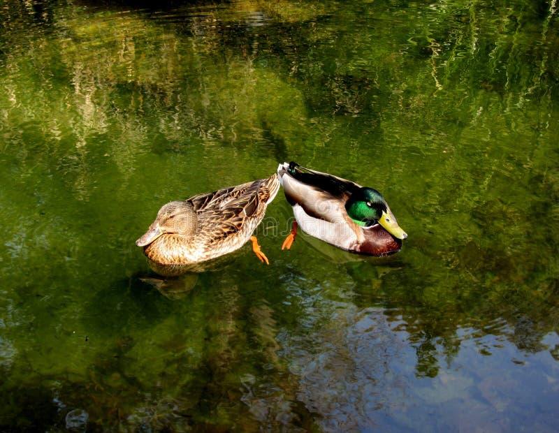 Two ducks stock photos