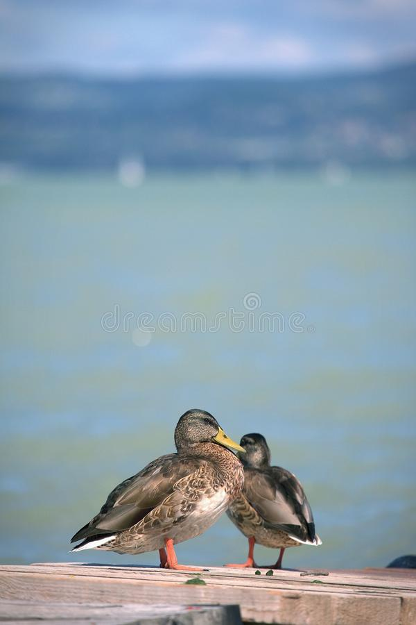 Two ducks at Lake Balaton stock photo