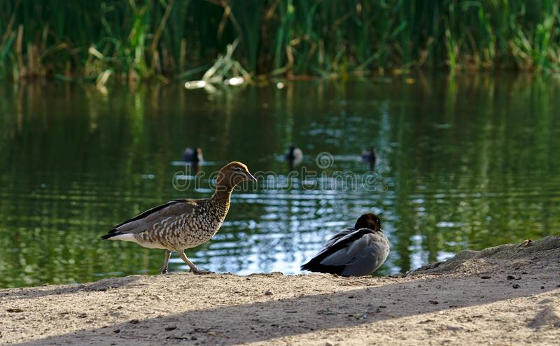 Two ducks by lake stock images
