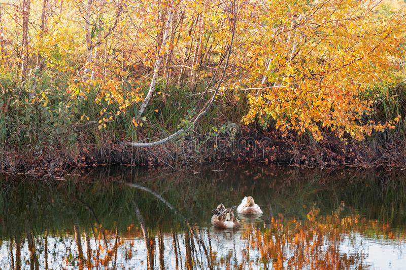Two ducks in the lake, and autumn birches reflection on the water. Two ducks in the lake, and golden birches in the autumn background royalty free stock photos