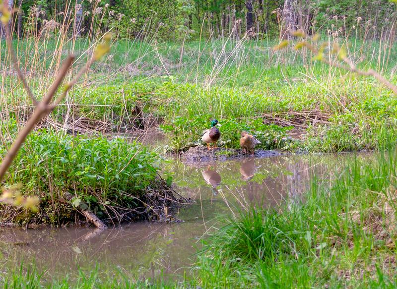 Two ducks on a mud bump near muddy water in a swamp stock photo