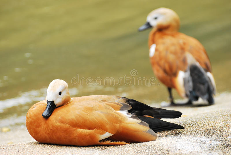 Download Two Ducks stock image. Image of amphibious, dual, h5n1 - 30900385