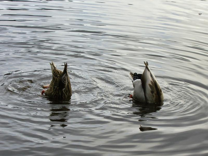 Two ducks in a pond with their butts up stock photos
