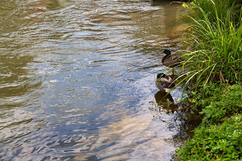 Two ducks on a riverbank. Two ducks with one preening on a flowing riverbank with green foliage and reflection of the sky stock images