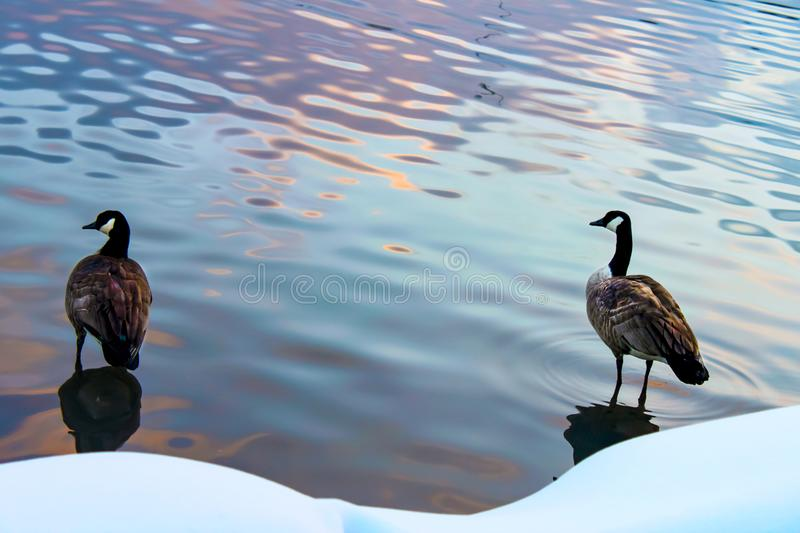 Two ducks standing in the water with reflections of sunset beside a snowy shore stock images