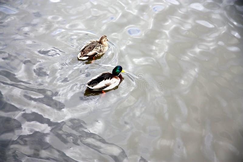 Two ducks swim in beautiful pearl water royalty free stock photography