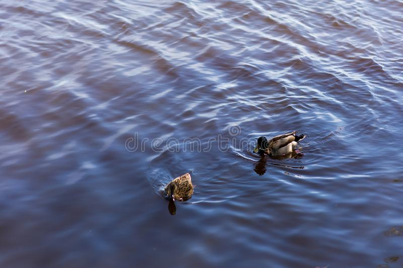 Two ducks float in a pond stock images