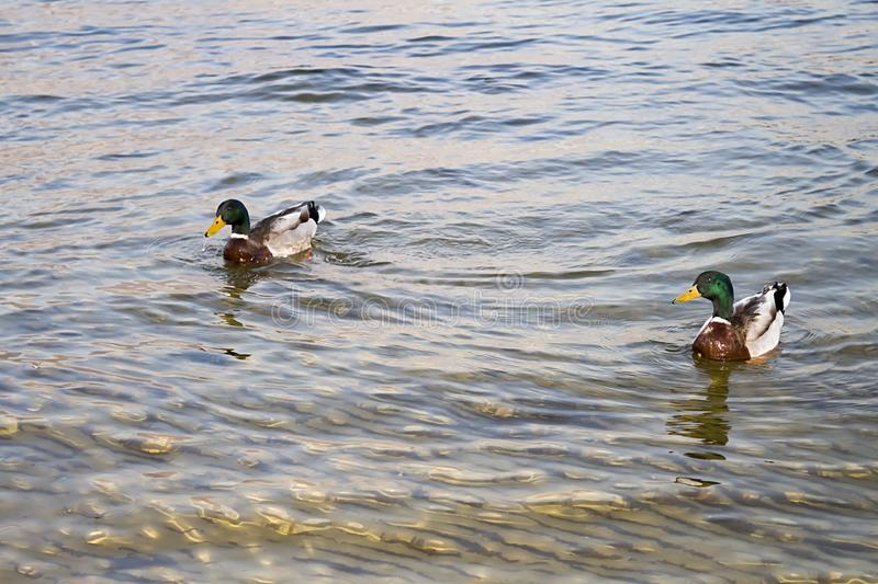 Two ducks on the water royalty free stock images