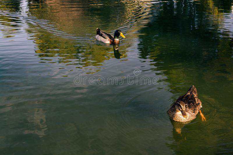 Two ducks, and just one pond, stock image